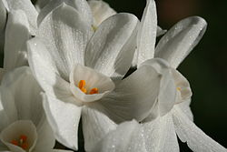 Paperwhite flowers.jpg