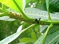 Parachartergus apicalis treehopper tending.JPG