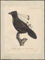 Paradisea sexpennis - 1825-1834 - Print - Iconographia Zoologica - Special Collections University of Amsterdam - UBA01 IZ15700151.tif