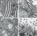 Parasite160090-fig3 Cepedea longa (Opalinidae).png