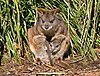 Parma wallaby444.jpg