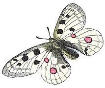 Parnassius apollo (Millot).jpg