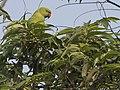 Parrot Nepal.jpg