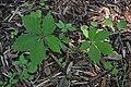 Parthenocissus quinquefolia - leaves (18874112199).jpg