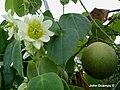 Passiflora guatemalensis S. Watson.JPG