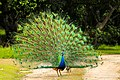 Pavão-indiano no Parque Ecológico Itapemirim.jpg