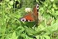 Peacock (Bret) (37173604914).jpg