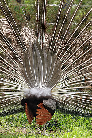 Covert feather - A rear view of an Indian peacock's true tail and elongated uppertail covert feathers