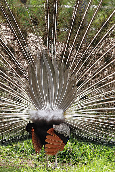 File:Peacock rear - melbourne zoo.jpg