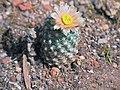 Pediocactus bradyi ssp winklerorum fh 070 UT in cultur Sammlung F Hochstaetter B.jpg