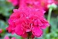 Pelargonium x hortorum Designer Dark Red 0zz.jpg