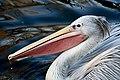 Pelican Bristol zoo edited.jpg