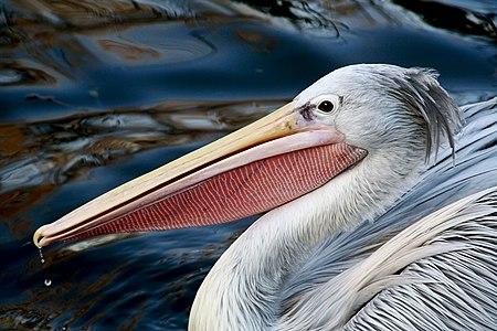 Pelican (Pelecanus rufescens)