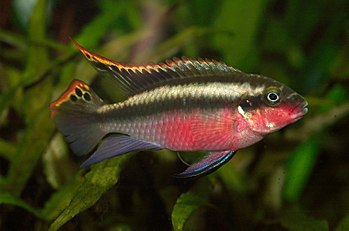 Kribensis, male