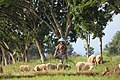 Penggembala kambing di Sawah, wujud kearifan lokal Indonesia.jpg