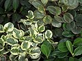 Peperomia from Lalbagh garden 8743.JPG