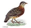 Perdix charltoni - 1820-1863 - Print - Iconographia Zoologica - Special Collections University of Amsterdam - UBA01 IZ17100103 (cropped).png