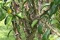 Pereskia grandifolia 42zz.jpg