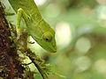 Perinet chameleon (Calumma gastrotaenia), Vohimana reserve, Madagascar (11339436996).jpg