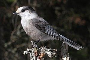 Grey jay - Image: Perisoreus canadensis mercier 2