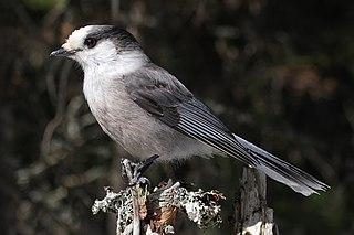 Canada jay A passerine bird of the family Corvidae from North America