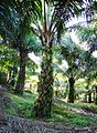 Perkebunan kelapa sawit milik rakyat (93).JPG