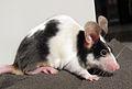 Pet mouse black white.jpg