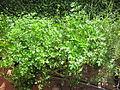 Petroselinum sativum 1.JPG