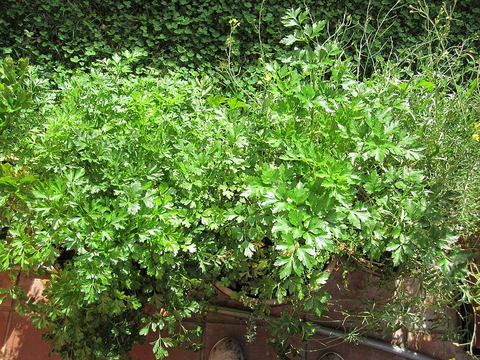 Petroselinum sativum 1