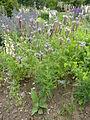 Phacelia tanacetifolia (Boraginaceae) plant.JPG