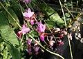Phalaenopsis pulcherrima kz01.jpg
