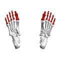 Phalanges of the foot05a inferior view.png