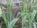 Phalaris arundinacea NP.JPG