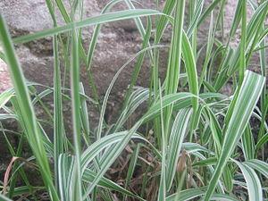 Phalaris arundinacea - A variegated form of Phalaris arundinacea in the garden of Islington College, Nepal