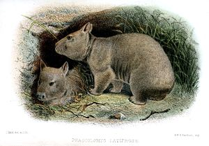 Southern hairy-nosed wombat - Illustration by Joseph Wolf (1865)