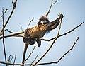 Phayre's leaf monkey funny position.jpg
