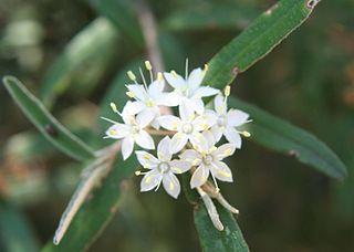 <i>Phebalium daviesii</i> species of plant