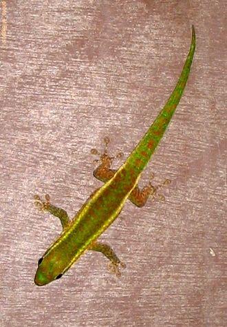Réunion Island day gecko - Phelsuma borbonica