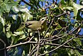 Philadelphia Vireo gets a big caterpillar (29673395511).jpg