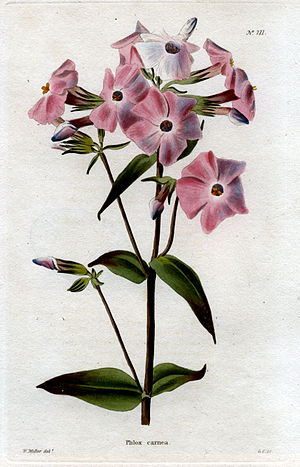 "George Cooke (engraver) - ""Phlox carnea"", engraving after William Miller (from ""The Botanical Cabinet"", 1818)"