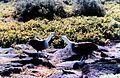 Phoebastria irrorata NOAA mvey0649.jpg