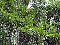 Phoebe cooperiana Leaves (2).jpg