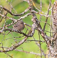 Phoenicurus ochruros female in Aveyron (3).jpg