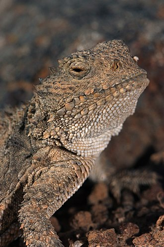 Horned lizard - Phrynosoma douglasii