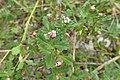 Phyla nodiflora kz06.jpg