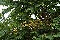 Phyllanthus acidus01.JPG