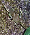 Physignathus cocincinus (Cuvier, 1829) Indo-chinese Water Dragon (16173880720).jpg