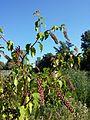 Phytolacca americana sl7.jpg