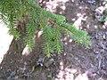 Picea omorika branch.jpg