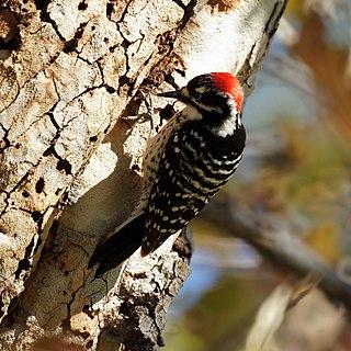 <i>Dryobates</i> genus of birds